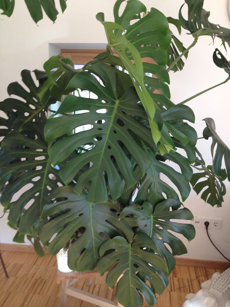riesen philodendron monstera fensterblatt pflanze zimmer bewurzelter ableger in garten. Black Bedroom Furniture Sets. Home Design Ideas