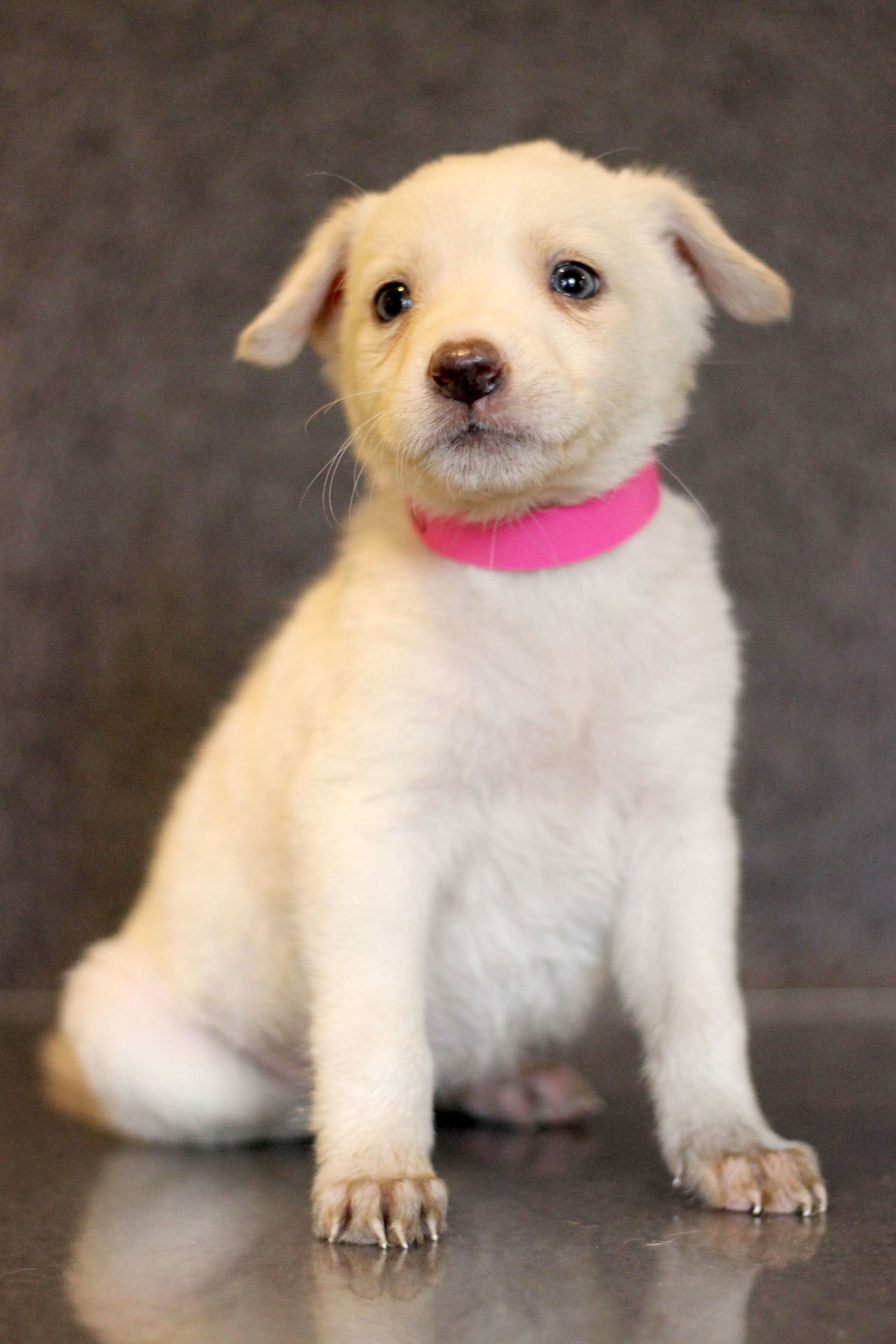 Adopt Snow 8750 on (With images) Pointer dog, Animal