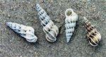 schelpen belgische kust