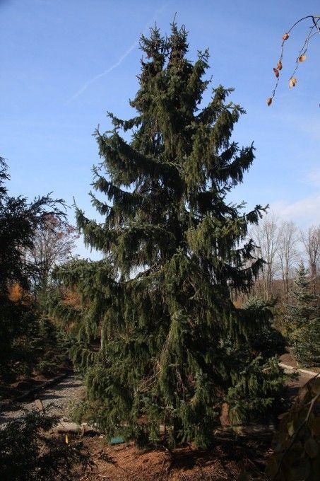 Evergreen Trees Evergreen Trees Plants Evergreen