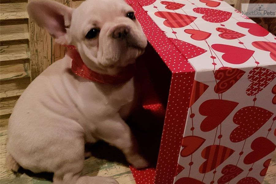French Bulldog Puppy For Sale In Houston Tx Adn 62977 On