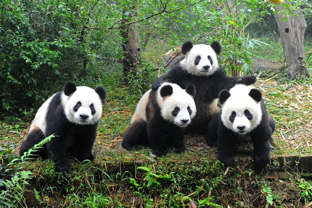 All About Animal Wildlife: Giant Panda Information and Images ...