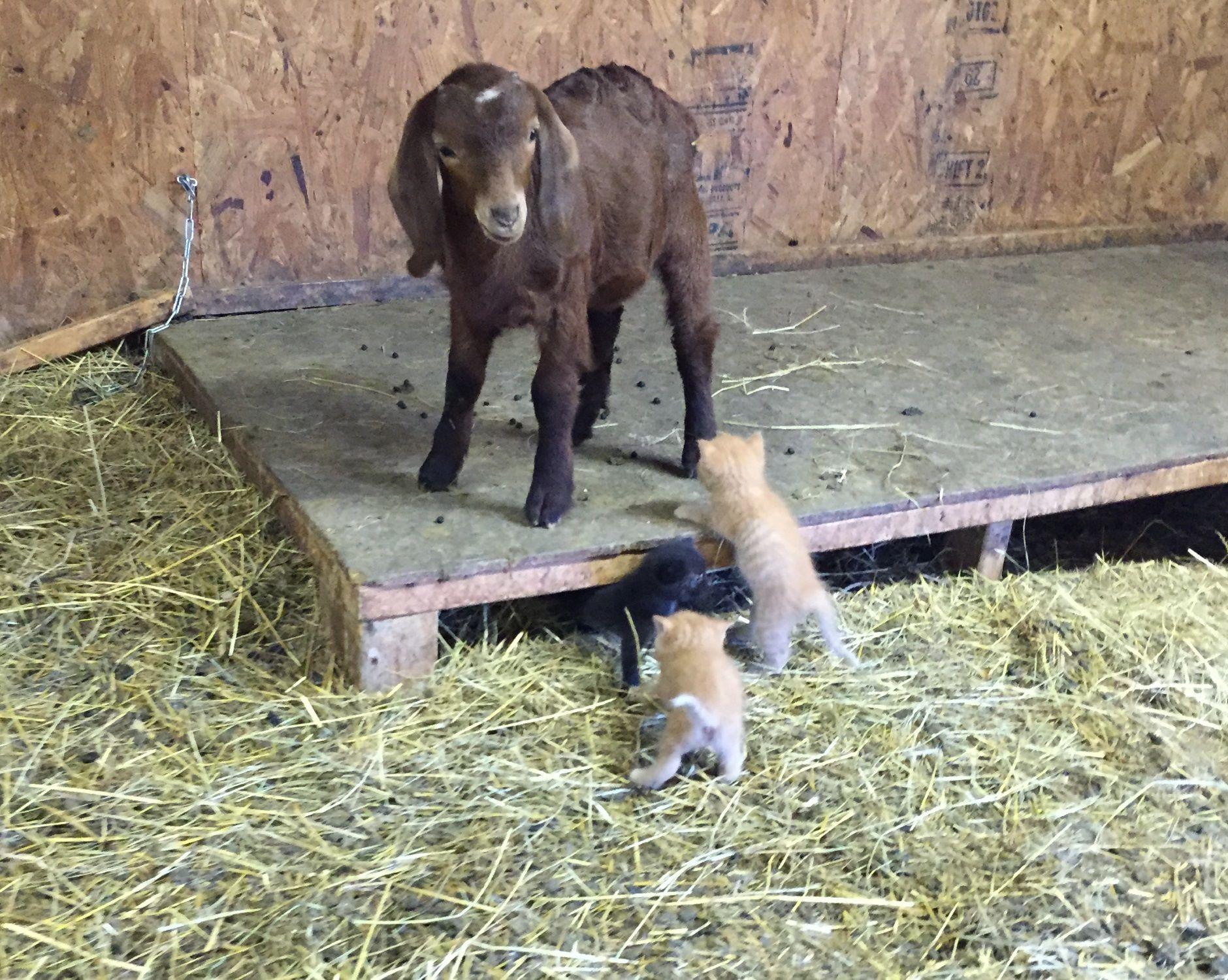 Let's play... One of our baby goat with the kittens. ☀️