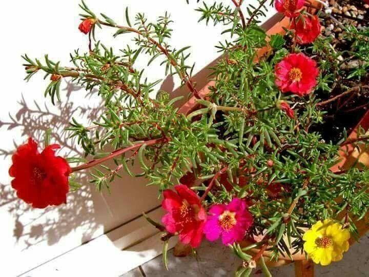 نبات صباح الخير أو زهرة الصباح اسمها العلمي Portulaca Grandiflora تعتبر صباح الخير من النباتات Cuidado De Plantas Jardineria Y Plantas Jardineria En Macetas
