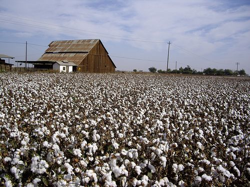 Beauty All Around Us   Cotton fields, Farm life, Fields