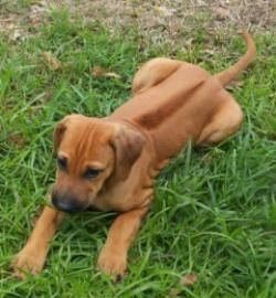 Rhodesian Ridgeback Mooie Honden Rhodesian Ridgeback Honden