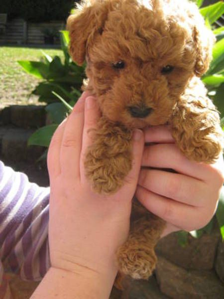 Adorable Moodle Puppies Toy Poodle X Maltese Toy Puppies
