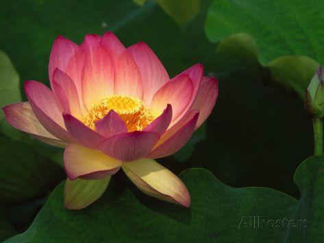 Lotus Flower Echo Park Lake Los Angeles Ca Lotus Lotus Lotus