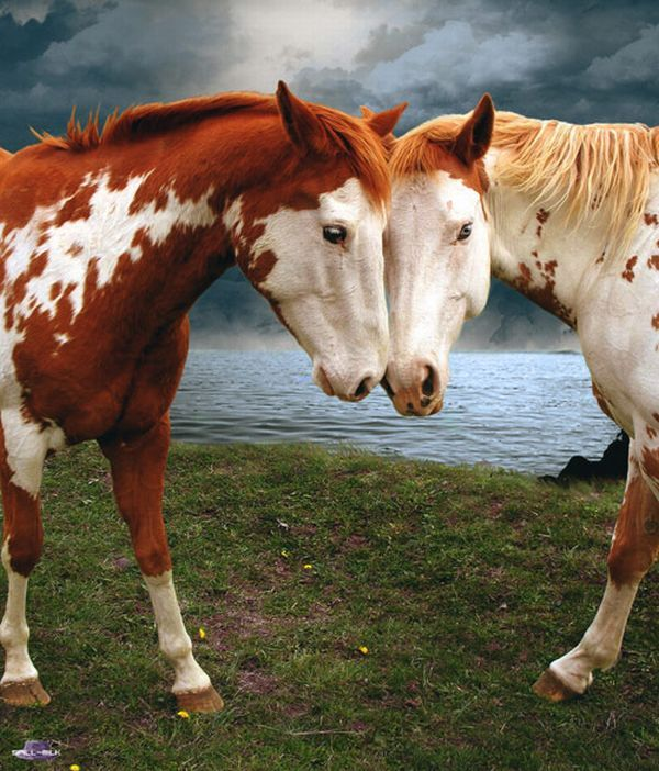 Red Roan American Paint Horses