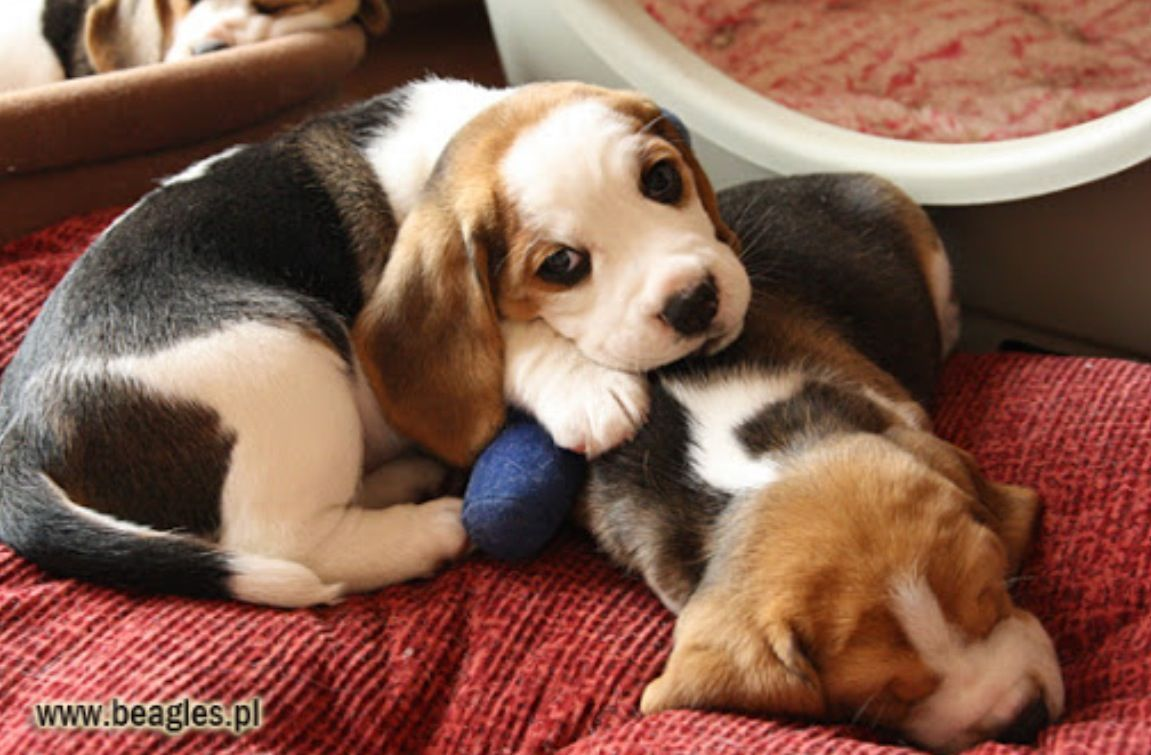 Snuggled Beagle Puppies Beagle Puppy Beagle Dog Cute Beagles