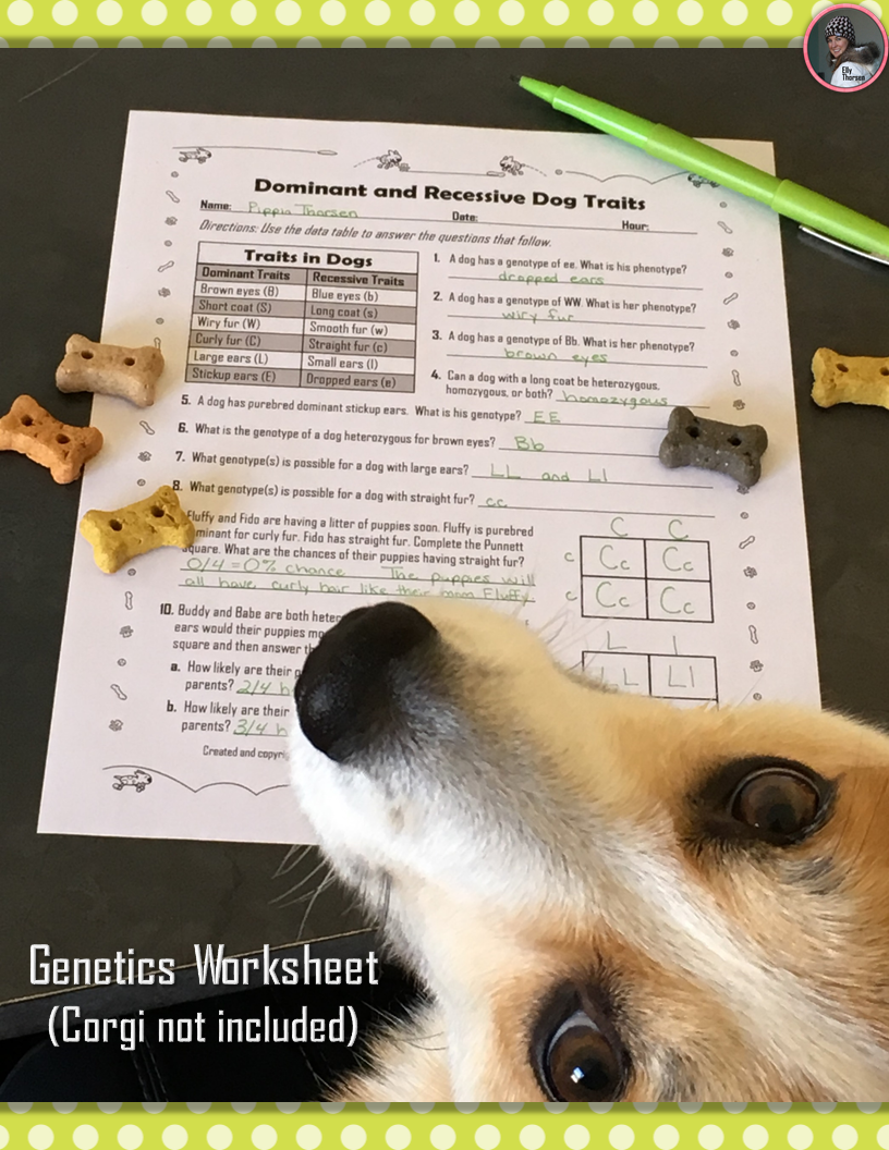 dominant and recessive traits in dogs genetics worksheet science for secondary grades biology. Black Bedroom Furniture Sets. Home Design Ideas