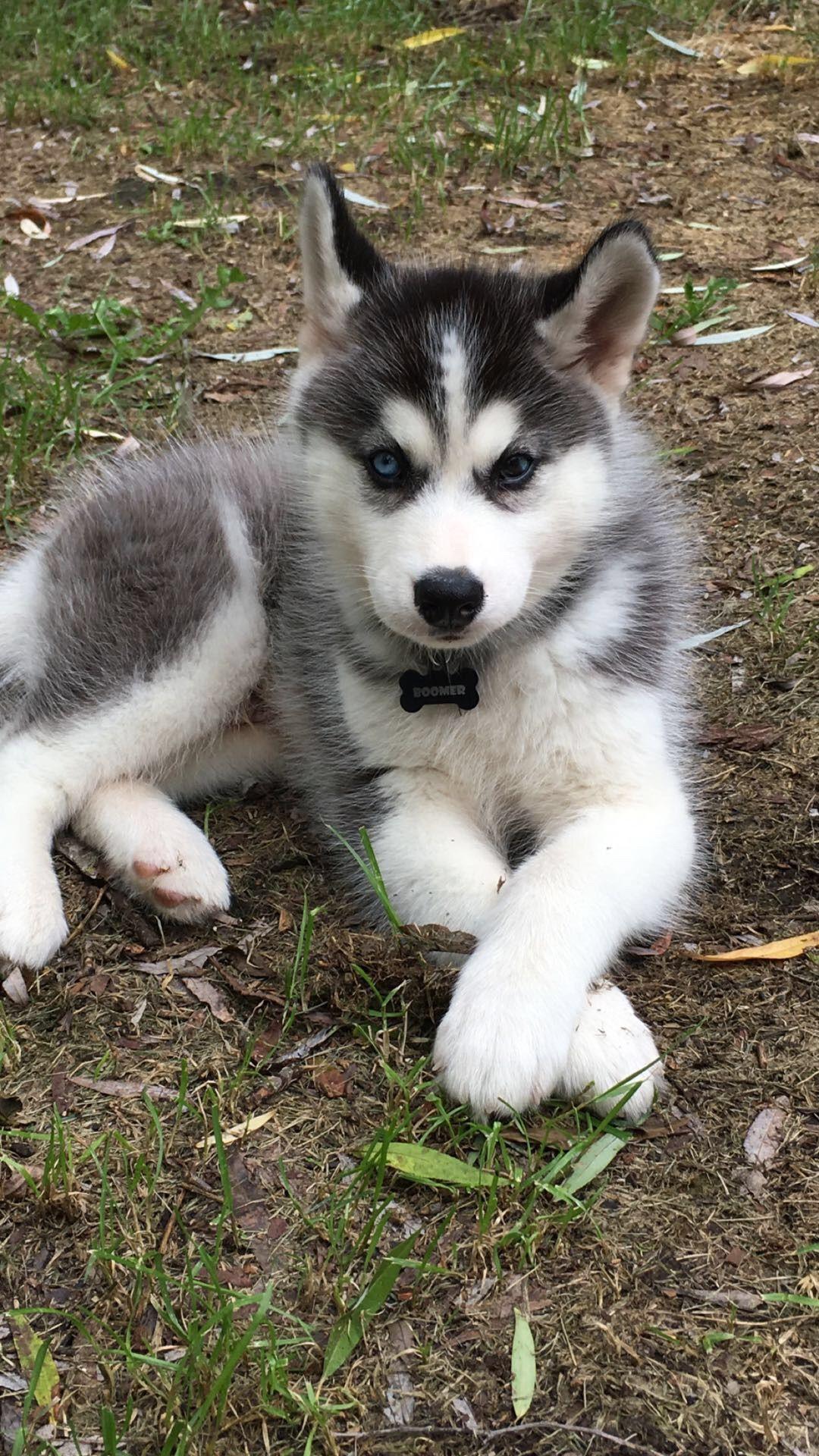 Blue Eyes Husky Cute Husky Puppies Cute Animals Pomsky Puppies