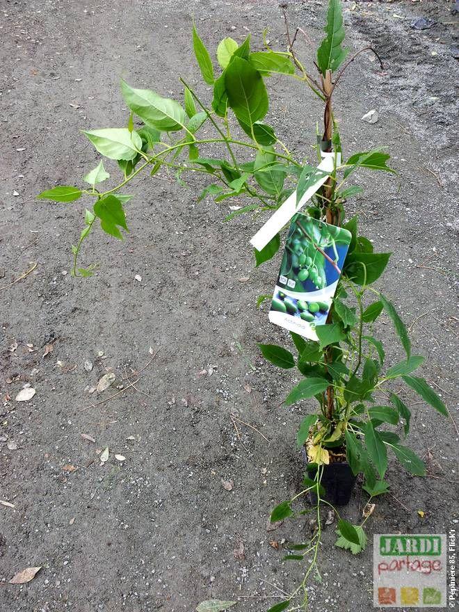 Kiwi Issaï, kiwaï quand, comment le planter Kiwi, Fruit