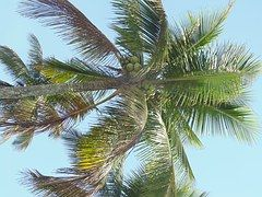 Kokospalm, Boom, Vegetatie, Natuur