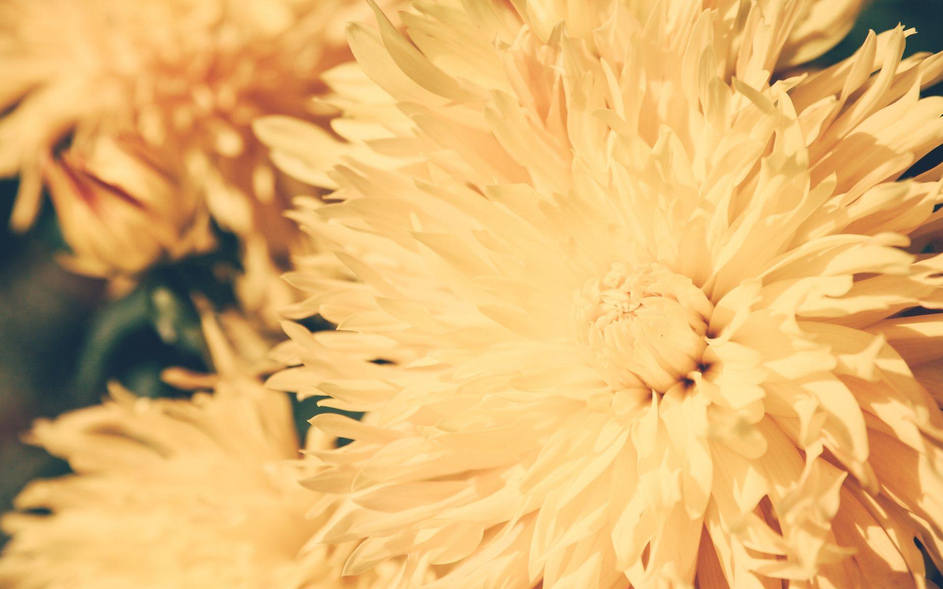 Chrysanthemum Flower Images Hd Wallpaper Flower Images Chrysanthemum Flower Flower Images Hd