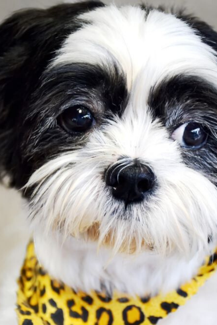 Lovely Shih Tzu Dog Expressions In Drama Emotional Eyes Because Want To Eat Dessert Black And White Small Shih Tzu Dog W Shih Tzu Dog Shih Tzu Dog Expressions