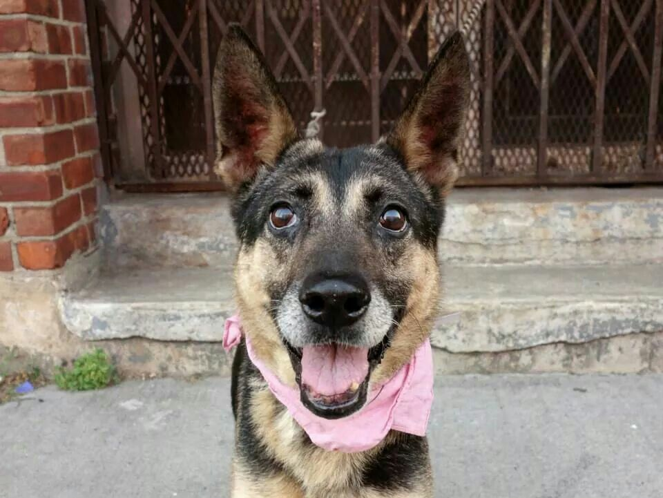 TO BE DESTROYED - 09/05/14 Brooklyn Center -P My name is KELLY. My Animal ID # is A1012518. I am a female black and tan germ shepherd. The shelter thinks I am about 7 YEARS old. I came in the shelter as a STRAY on 08/31/2014 from NY 11434, owner surrender reason stated was ABANDON. I came in with Group/Litter #K14-192513. https://m.facebook.com/photo.php?fbid=864614693551411&id=152876678058553&set=a.611290788883804.1073741851.152876678058553&source=43&ref=stream