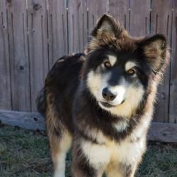 Adopt Perry Adorable Sweet Cute On Malamute Dog Alaskan