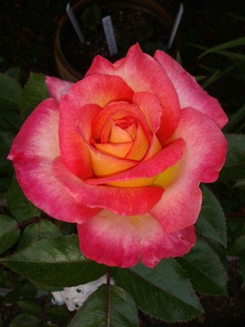 Rose 'Rainbow Sorbet' One of my favorites! Photo by Jan R.Fuller