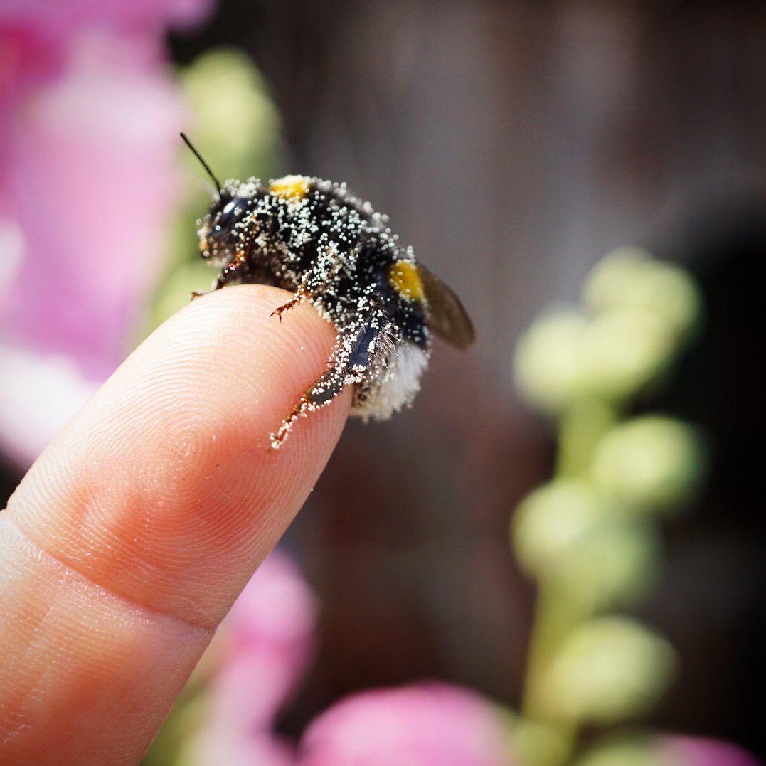 Wahrend Honigbienen Erst Ab Einer Aussentemperatur Von Mindestens 10 C Ausfliegen Sind Hummelkoniginnen Im Hummel Kinder Honigbiene Brustmuskulatur