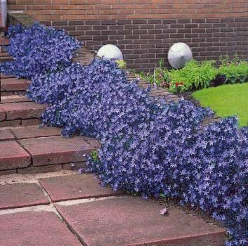 5 campanules des rocailles : achat/vente plantes vivaces - Willemse ...