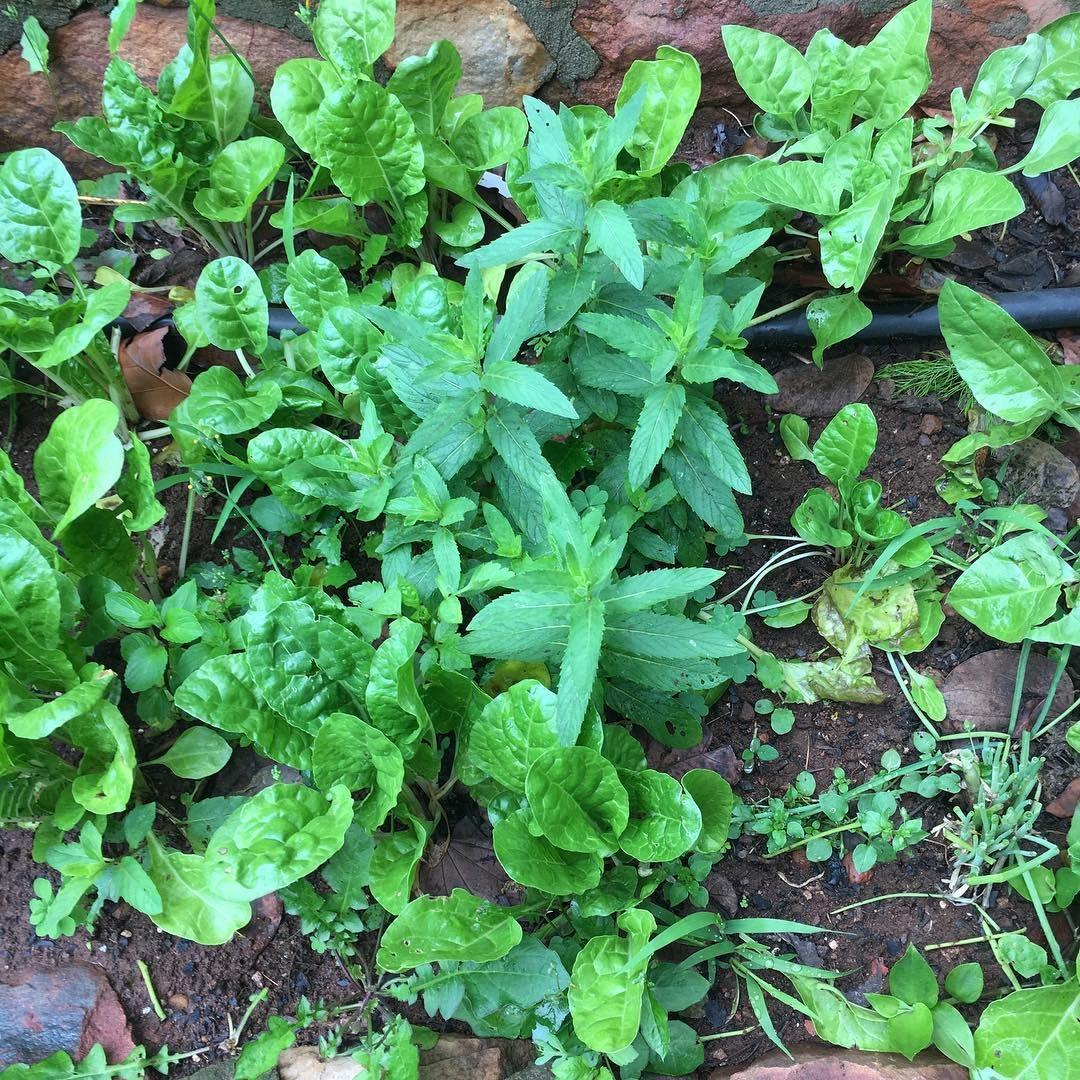 #babyspinach #swisschard #chocolatemint #sage #chives #foodforest #vegetablegarden #permaculturegarden