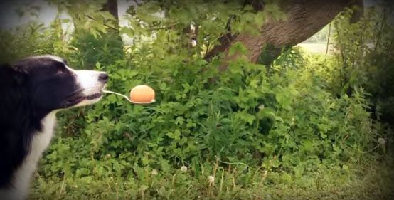 Nana the Border Collie's amazing balancing tricks will leave you in AWE - Three Million Dogs
