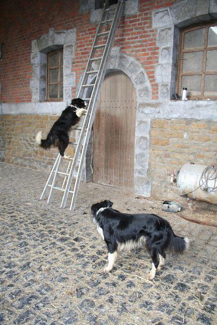 Border Collie Dog Collie Dog Border Collie Dog Border Collie