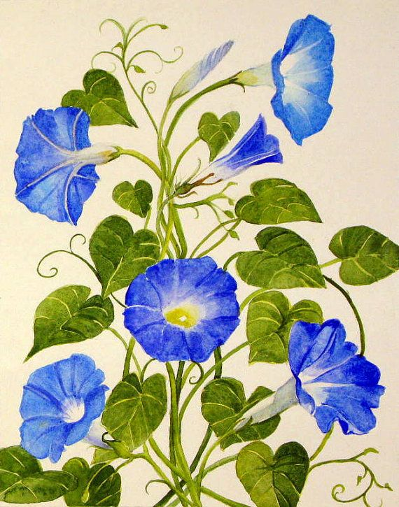 Matted Morning Glory By Abingdonarts On Etsy Blue Morning Glory Morning Glory Flowers Watercolor Flowers