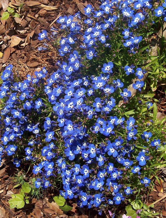 Lobelia periwinkle my favorite looks awesome paired for Blue flowering bush