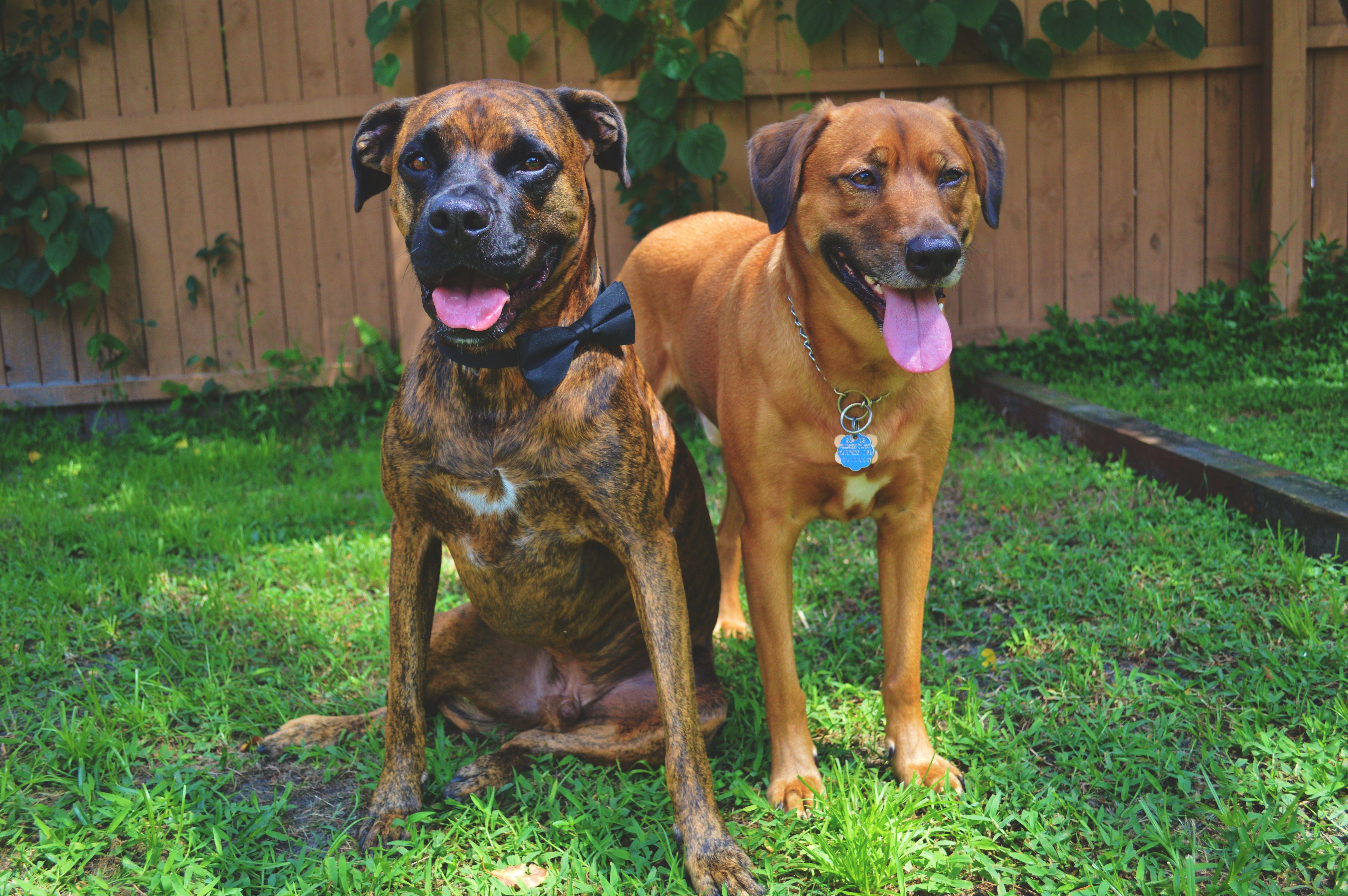 Popular Brindle Boxer Bow Adorable Dog - 7d3924c75c5393ec7f729f1a2e812b6f  Gallery_949752  .jpg