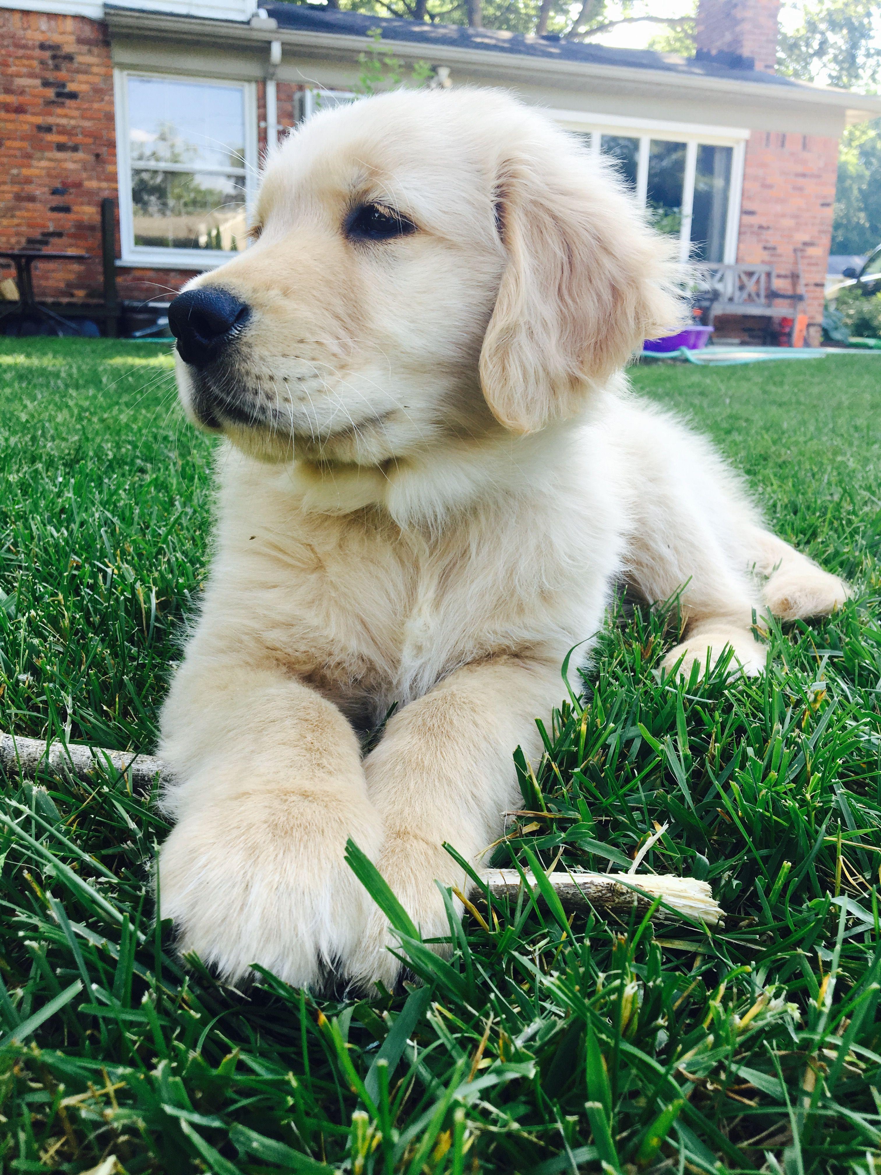 pinterest ☓ cmbenney Lab puppies, Retriever puppy, Dogs