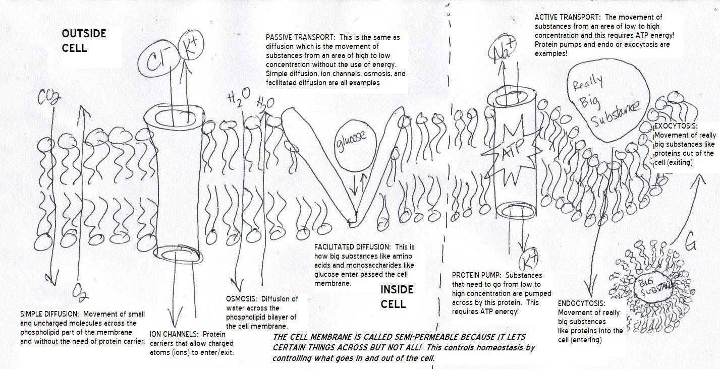 hight resolution of Cell Membrane Diagram Worksheet   Plasma membrane