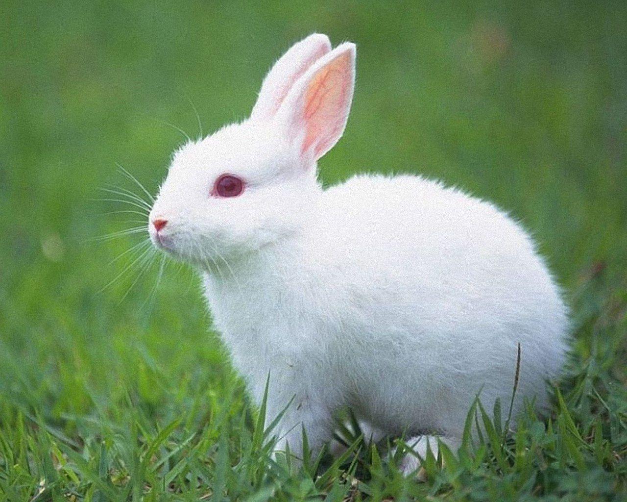 Cute White Rabbits Wallpaper 2139 1280x1024 Rabbit Wallpaper Animals Cute Baby Animals