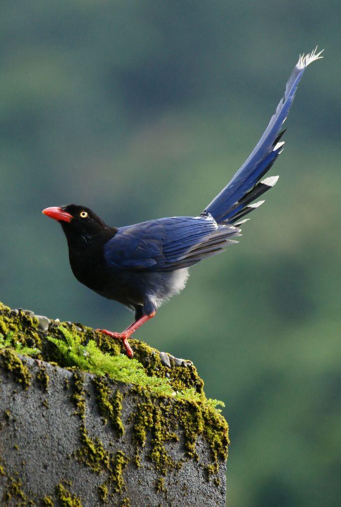Taiwan Blue Magpie - Google Search