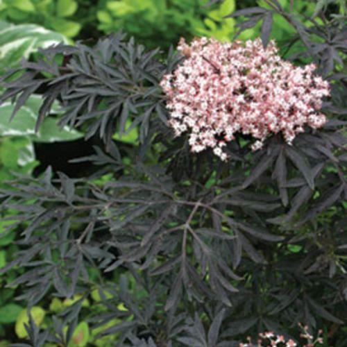 Black Lace Elderberry Sambucus Nigra Gardens Sun