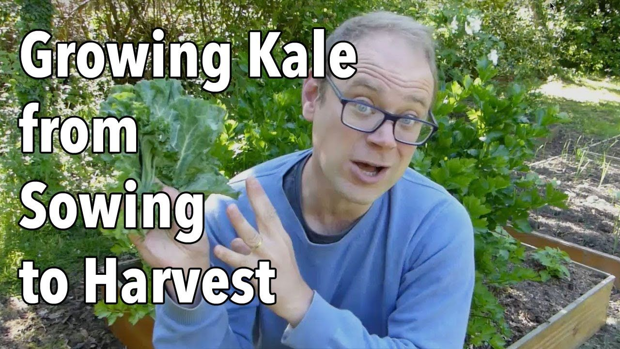 Growing Kale from Sowing to Harvest | Companion planting ... Companion Planting Kale