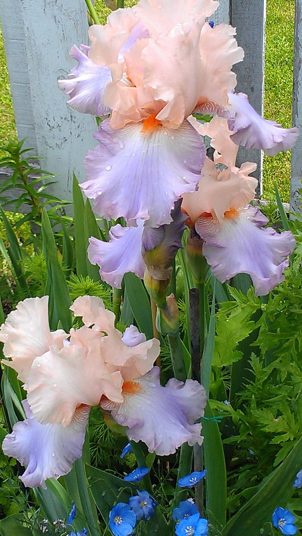 Tall Bearded Iris Celebration Song Iris Flowers Beautiful Flowers Iris Garden