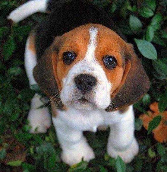 Howling Fun Dogs Cute Beagles Beagle Puppy Cute Animals