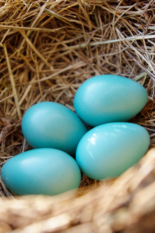 robin 39 s egg blue farming hints of country robins egg blue paint eggs birds. Black Bedroom Furniture Sets. Home Design Ideas