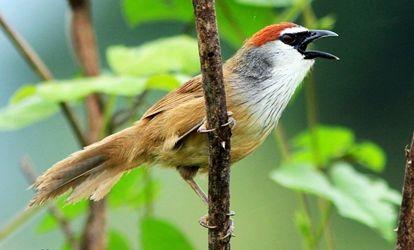 sekilas tentang burung kaso kaso budidaya ternak org