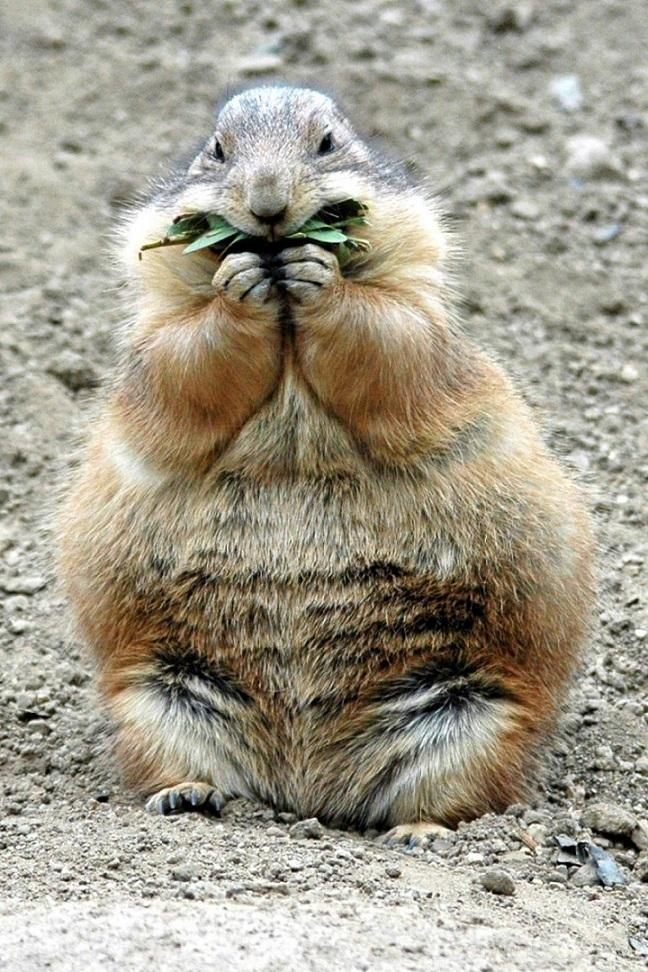 Best Koala Bear Chubby Adorable Dog - 7d3d24005ebb4f93d4a8c3184a000846  Trends_455342  .jpg