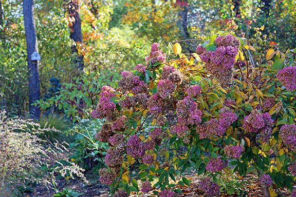 Our Customers Ask Should I Cut Back My Hydrangeas In The Fall General No