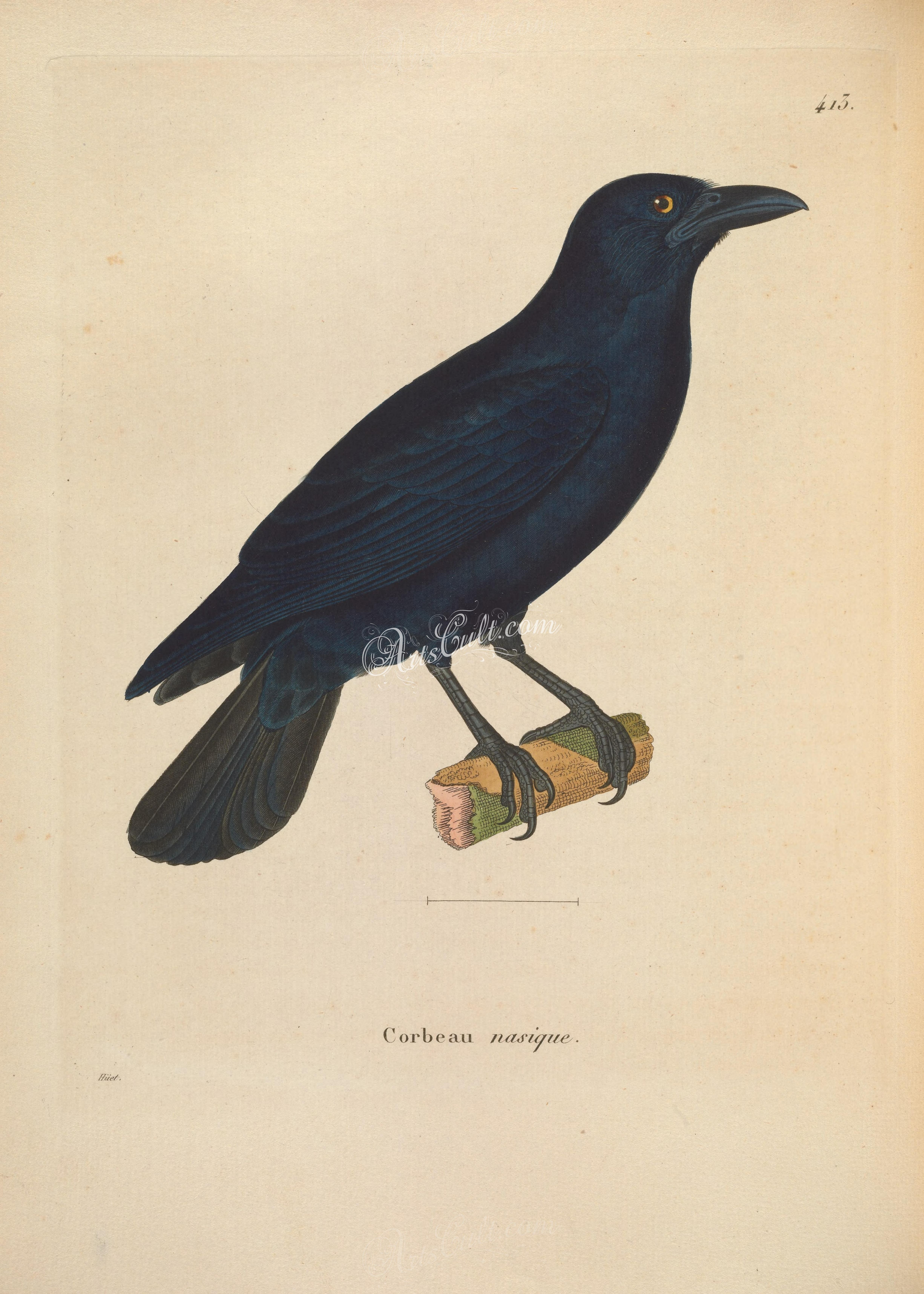 Cuban crow artscult best pinterest crows the cuban crow corvus nasicus is one of four species of crow that occur on a few key islands in the caribbean it is closely related to the white necked biocorpaavc