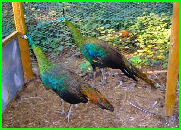 Cara Memelihara Dan Merawat Burung Merak Daftarhewan Com Peafowl Beautiful Birds Pet Birds