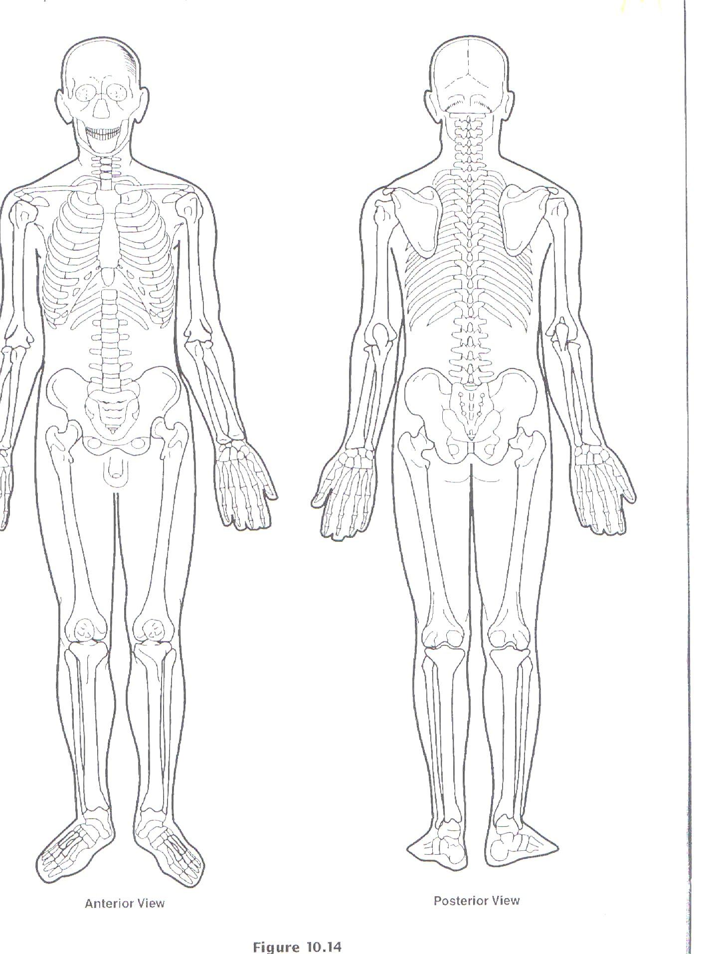 Muscle Diagram Blank | Human body diagram, Body diagram ...