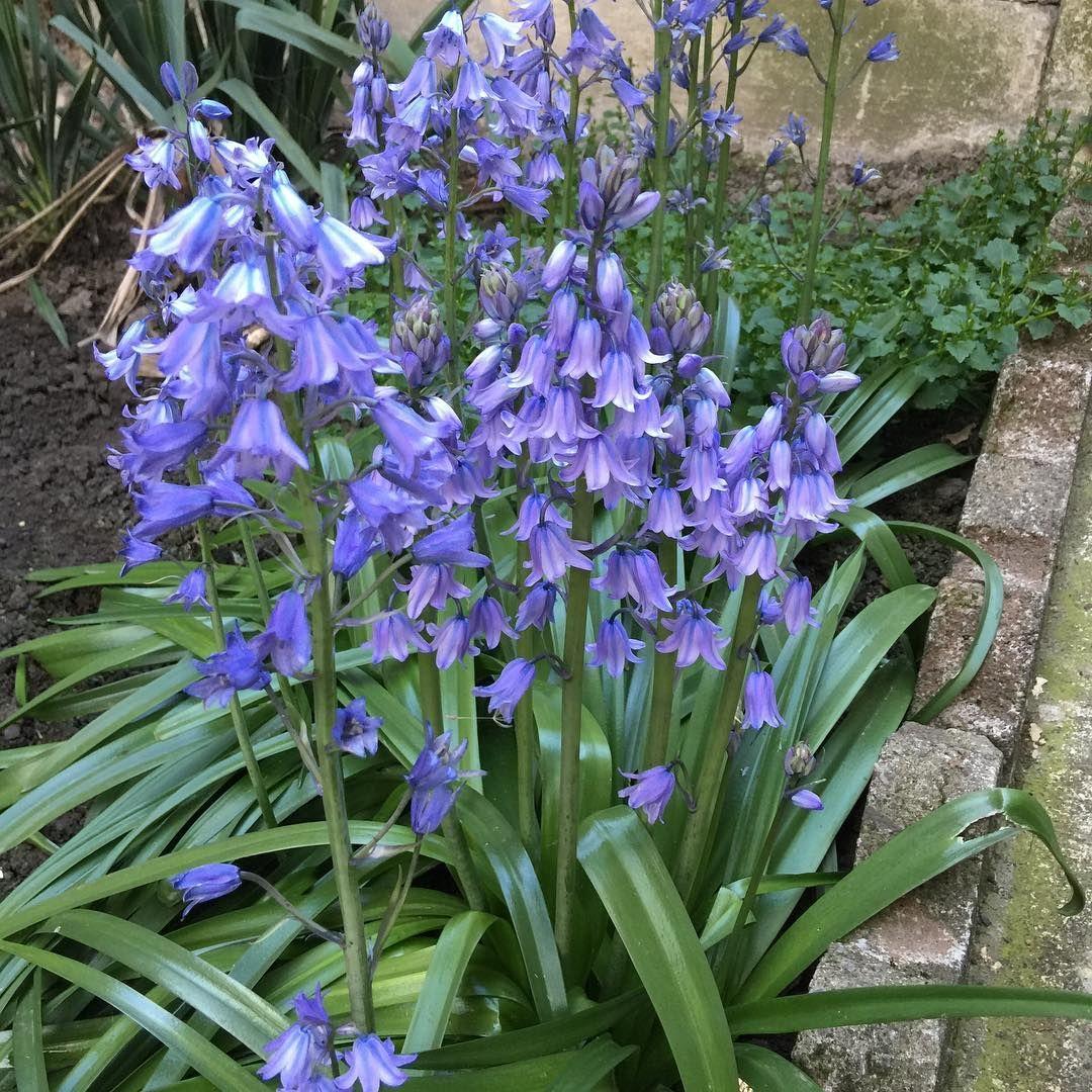 Baharın son günleri, yaza çok az kaldı. Tabi bu çiçekleriminde son günleri �� �� �� #baharın #bahar #bahçe #çiçeklerim #çiçekler #eflatun #fleur #mesfleurs #lila #lilas #jardins #jardin http://turkrazzi.com/ipost/1517540692027957834/?code=BUPYzgYhuJK