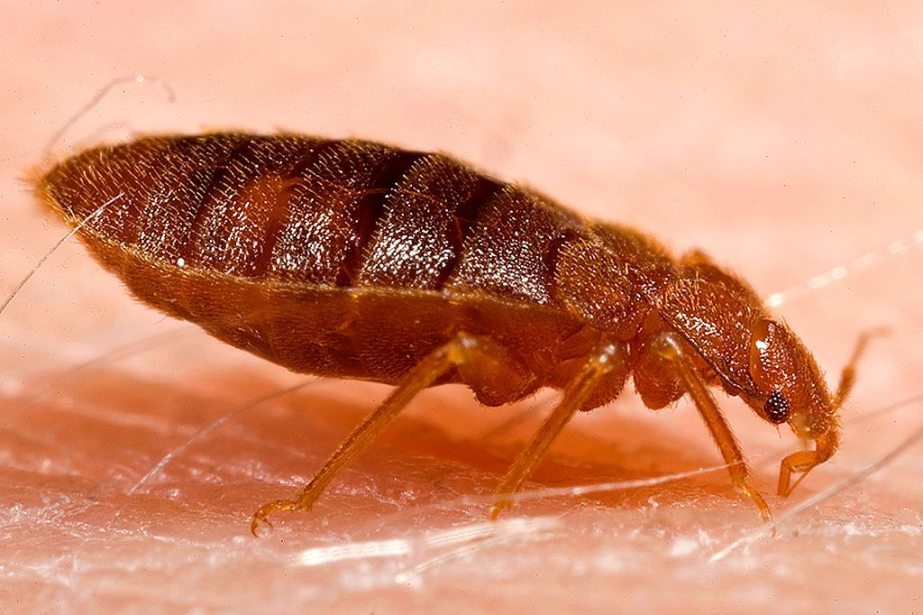How to detect bed bugs before infestation Bed bug bites