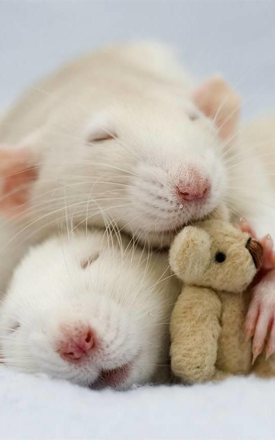 These Photos Of Rats Holding Teddy Bears Will Make You Kinda Love