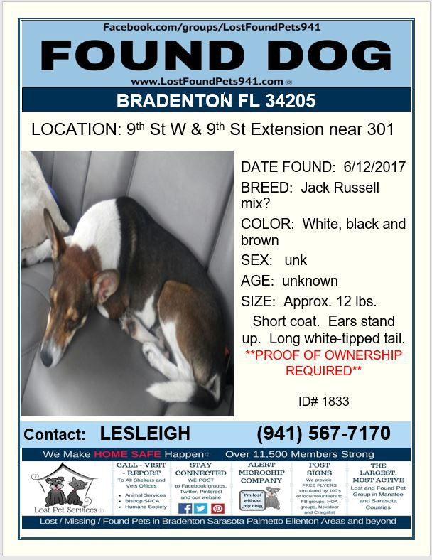 Do You Know Me Founddog Lost Dog Jackrussell Mix Chihuahua Bradenton Fl Manateecounty 34205 Lostfoundpets941 Losing A Pet Service Animal Jack Russell